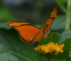 dryas iulia in the shade1 (brigitte.watz) Tags: butterfly insect insekt orangebutterfly sommerfugl vliegendehollander flambeau dryasiulia juliabutterfly juliaheliconian theflame longlivedanddayactivebutterfly picturefromabutterflyhouse