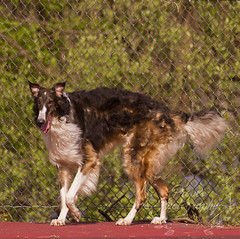 Feeling Perky (Proper Photography) Tags: light dog pet pets silly love dogs nature goofy canon outside outdoors happy spring natural sigma content happiness naturallight canine joyful springtime borzoi 2016 petdog sigma70300 sigmalens russianwolfhound properphotography canoneos7d spring2016