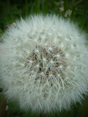 dandelion ball (ajtodd1) Tags: flowers plants macro nature weeds
