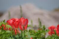チューリップ (鬱金香) /Tulipa gesneriana (nobuflickr) Tags: tulip 鬱金香 チューリップ tulipagesneriana awesomeblossoms ユリ科チューリップ属 20160409dsc06671