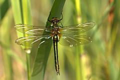 downy emerald (judith.kuhn) Tags: animal insect fly dragonfly libelle insekt raindrop tier tropfen flgel fluginsekt falkenlibelle downyemerald gemeinesmaragdlibelle groslibelle