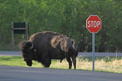 Mr. Bison says 'Stop' (steveboer.com) Tags: road wood nature animal sign nationalpark buffalo wildlife stop alberta plains elkisland bison animalplanet