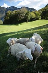 (formicacreativa) Tags: sheep sheeps pecore pecora lessinia lessini aladitrento malgariondera