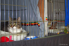 Bastian and Caithlin in their cages (Finn Frode (DK)) Tags: show pet cats animal cat denmark indoor olympus som somali mixedbreed housecat somalicat catshow bastian hvidovre domesticshorthair caithlin huskat racekatten fif omdem5 dusharacathalcaithlin