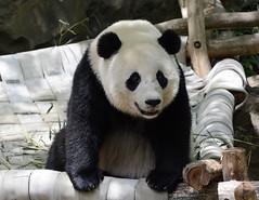 LindaGlisson_20160520_DSC5870 (glissonlinda) Tags: bear washingtondc panda wildlife pandabear endangeredspecies dczoo smithsoniannationalzoologicalpark smithsoniannationalzoo endangeredwildlife wildlifeconservation baobaopanda baobaosmithsoniannationalzoo
