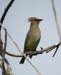 Cedar Waxwing (Bug Eric) Tags: usa nature birds animals outdoors nebraska wildlife birding northamerica migration birdwatching cedarwaxwing waxwings songbirds greatplains holdrege may72016 lakeseldomwildliferefuge