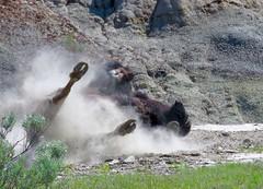 Bison dust (prairiegirrl) Tags: roll dust bison trnp