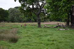 Deer: Wide (ItsMeBjorn) Tags: park city urban london nature naturallight richmondpark londonpark outdoorlight nikond3300