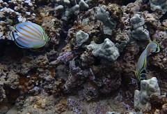 pair of ornate butterflyfish (Skeptic14) Tags: bay diving maui snorkeling kapalua ornate butterflyfish