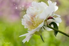 sweet aroma (mariola aga) Tags: plant flower macro colors closeup garden dof sweet bokeh pastel peony glencoe aroma chicagobotanicgarden thegalaxy
