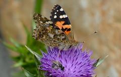 Painted Lady, Vanessa cardui (vietnamvera) Tags: butterflies insects papillon mariposa paintedlady greecenature
