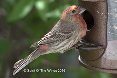 Male House Finch (jimgspokane) Tags: birds wildlife otw cassinsfinch nikonflickraward spokanewashingtonstate