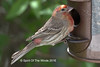 "Male House Finch (jimgspokane) Tags: birds wildlife otw cassinsfinch ""nikonflickraward"" spokanewashingtonstate"