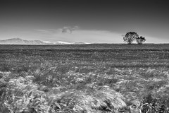 Sec i Pirineus (Aicbon) Tags: blackandwhite cloud naturaleza tree verde blancoynegro nature field landscape grey natura paisaje catalonia campo catalunya pirineus lleida pirineo segarra lerida lasegarra secano