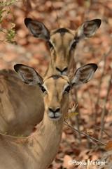 Impala (Aepyceros melampus)  Www.paolomeroni.com (paolo_meroni (www.paolomeroni.com)) Tags: africa portrait southafrica double antelope impala krugernationalpark kruger sudafrica animalportrait wildlifephotography aepycerosmelampus krugernp fotografianaturalistica paolomeroni wwwpaolomeronicom