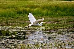 Smooth Sailing (brev99) Tags: bird nature water pond ngc egret snowyegret bif whitebird birdinflight d7100 ononesoftware nikviveza tamron70300vc highqualityanimals perfecteffects10