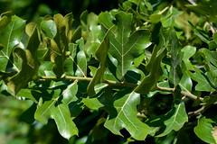 Quercus aff. marilandica (Eric Hunt.) Tags: hairy oak quercus redoak fagaceae