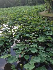 2016-06-07 16.53.57 (Chien-Wen Chen) Tags: plant taiwan taipei  nelumbonaceae taipeibotanicalgarden