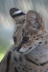 Serval (kylennadine) Tags: africa cats nature saint animal animals cat zoo louis big feline wildlife photograph felines serval zoos servals