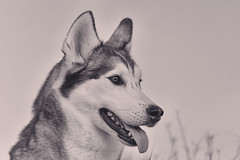 Aurora (Cruzin Canines Photography) Tags: portrait blackandwhite dog pet pets cute dogs nature monochrome animal animals canon outside mammal outdoors husky pretty naturallight canine domestic siberianhusky alaskanhusky domesticanimal 5ds canon5ds eos5ds canoneos5ds