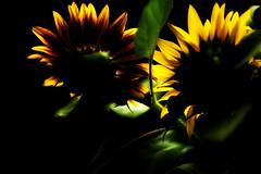 flames (Rainer Schund) Tags: flames sunflower sonnenblume nikon nikond700 natur nature natureexploring naturemasterclass light lichtstimmung lichterfest blume makro exploring experiment