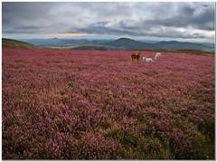 Shropshire wild heather (Hugh Stanton) Tags: heather horses stretton hills art
