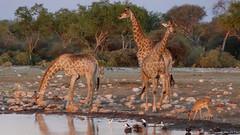 Giraffe Drinking at Watering Hole at Dusk, Etosha National Park, Namibia (HDR) (dannymfoster) Tags: africa namibia etosha nationalpark etoshanationalpark animal giraffe impala shorebird wateringhole dusk