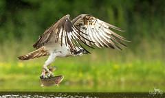 Visarend / Osprey / Balbuzard (Gladys Klip) Tags: visarend balbuzard osprey