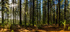 Pine Forest Clearing (Russell Lucas : Real landscapes with natural light) Tags: hepburnsprings landscape panograph pineforest trees winter