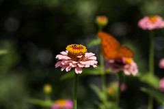 Summer garden (Irina1010) Tags: zinnia flower garden pink light bokeh butterfly summer nature canon ngc