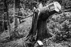 storm-victim (TSET0147) Tags: canon canon7d canon35l14 canonef35mmf14lusm festbrennweite diefestbrennweite facebookdiefestbrennweite prime primelens wald baum sturm unwetter thunderstorm thunder tset0147 tset