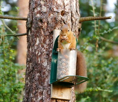Red Squirrel in Tentsmuir forest. (eric robb niven) Tags: ericrobbniven scotland dundee redsquirrel wildlife animal summerwatch