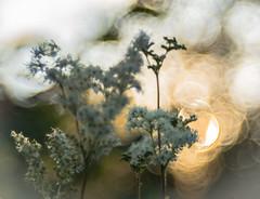 Bokeh Bubble Trouble (*Capture the Moment*) Tags: 2016 backlight bloom blossom blten bokeh gegenlicht pflanzen sonne sonnenuntergang sonynex7 sun sunset trioplan28100neo wetter blossoms weiss white