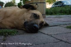 Lucy (falconoortphoto) Tags: lucy nikon nikond5200 falconoort almere flevoland nederland animal dog shepherd kangal