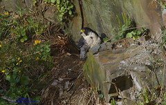 Female Peregrine Falcon. (spw6156 - Over 5,035,381 Views) Tags: new copyright female moving steve website falcon eggs cropped waterhouse peregrine signsofspring around14 plymperegrines stevewaterhouseplymperegrines wwwplymperegrinesorguk wwwyoutubecomchanneluc3h2ma5os0ep8zypmuzegna takenwithaschedule1licence underthewildlifeandcountrysideact1981 underthewildlifeandcountrysideact1981wwwplymperegrinesorguknewwebsitewwwyoutubecomchanneluc3h2ma5os0ep8zypmuzegnacopyrightstevewaterhouse femaleperegrinefalconmovingtheeggsaround14croppedtakenwithaschedule1licence