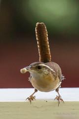 Home-birds_5-3-15-0733 (RobBixbyPhotography) Tags: birds hummingbird florida jacksonville wren