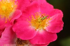 little green bug (Glenna Barlow) Tags: pink roses flower sc nature rose bug garden insect bright lexington southcarolina petal staemans