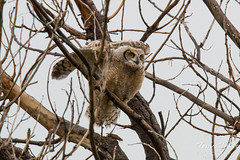 Great Horned Owl owlet flaps its wings to catch itself