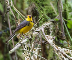 COLLARED REDSTART (Costa Rica Nature & Astro Photo) Tags: nature birds costarica wildlife birding aves birdwatching collaredredstart myioborustorquatus birdsofcostarica canon7d avesdecostarica beltranlara