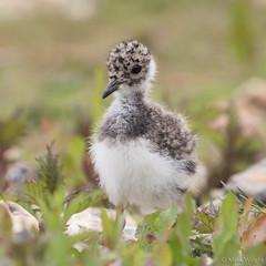 Lapwing Chick 2 (markwright12002) Tags: may hampshire lapwing juvenile 2015 blashfordlakes