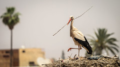 Marrakesh-41.jpg (Frank Schwellnus) Tags: travel ma morocco marrakech medina afrika stork marokko reise storch marrakesch marrakechtensiftalhaouz palaiselbadi