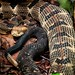 Arkansas Timber Rattlesnake