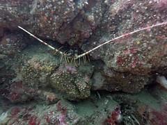 Anglų lietuvių žodynas. Žodis lobster reiškia n zool. omaras, jūros vėžys; red as a lobster raudonas kaip vėžys lietuviškai.