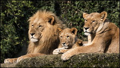 _SG_2016_04_5001_IMG_0059 (_SG_) Tags: new male animals female cat born cub tiere king leo lion katze lioncub tier lwe knig leu panthera nachwuchs weibchen raubkatze pantheraleo mnnchen knigderlwen mhne lwenjunges lwenbaby loewennachwuchs