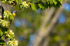 Motacilla cinerea (Role Bigler) Tags: bird nature animal schweiz switzerland tiere suisse bokeh natur vogel emmental motacillacinerea bokehlicious ef100400lisusm bergstelze canoneos5dsr