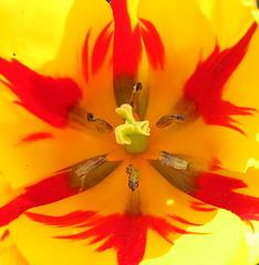 Tulip on fire (Anna's 50) Tags: tulip macro flower nature canong1x powershotg1x g1x canonpowershot canon compact