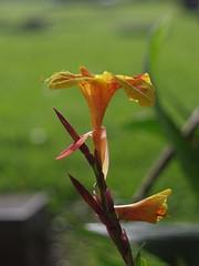 Canna Lily (bamboosage) Tags: c ngc npc m42 12 tomioka tominon f5cm