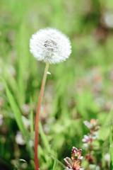 Наверное нету человека, который не любит весну, ведь правда же!?  И дальше на север идёт наступленье, Запела вода, пробуждаясь от сна. Весна неизбежна, ну, как обновленье, И необходима, как просто весна.(Владимир Высоцкий) (ddanilejko) Tags: spring plant outdoor green beauty nature saturated outdoors vibrant photography macro details mood blossom awake single white dandelion blowball one stem fluffy wild meadow filed uncultivated whole blow