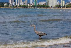 Urban Nature (Clayton Perry Photoworks) Tags: canada bird skyline vancouver spring waves bc kitsilano explorebc explorecanada vancitybuzz