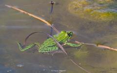 2016-05-06 - 15.52.29 - _L5B2633 - 1 (Rossell' Art) Tags: pad frog toad sapo rana frosch grenouille kikker rano bufo r krte crapaud  rospo doodebemde batracien